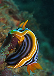 Kenting, Taiwan -- The nudibranch Chromodoris elizabethina feeding on a sponge.<br /> <br /> Chromodoris elizabethina is one of the most common dorid species in the western Pacific. It usually feeds on foliose sponges in 5-30 m depth.