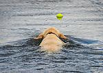 Golden labrador chasing tennis ball in lake.