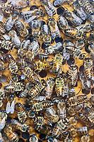 Europe/Europe/France/Midi-Pyrénées/46/Lot/Saint-Sulpice: Abeilles dans une ruche de  la Ferme du Mas de Thomas