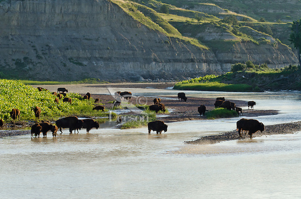 American Bison herd (Bison bison) gathered along the Little Missouri River in Theodore Roosevlet National Park, North Dakota for a morning drink.  Summer.