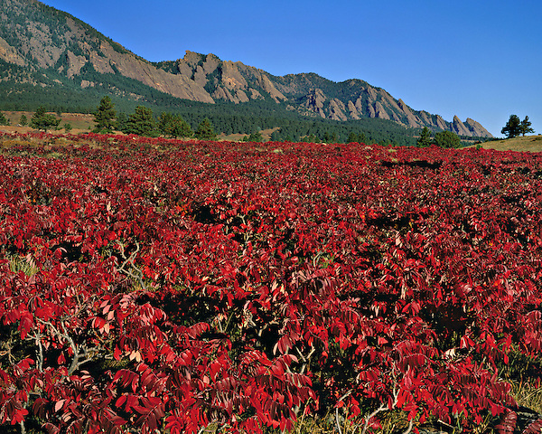 Autumn sumac bushes and Flatirons rock formation, Foothills, Boulder, Colorado, USA. .  John offers private photo tours and workshops throughout Colorado. Year-round. .  John leads private photo tours in Boulder and throughout Colorado. Year-round Colorado photo tours.
