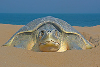 olive ridley sea turtle, Lepidochelys olivacea, vulnerable species, sitting on the nest, Gokhurkhrda Beach, Rushikulya Rookery, Ganjam Coast, Odisha, India, Indian Ocean
