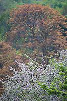 France, Calvados (14), Pays d' Auge, env d'Honfleur:   Pommiers en fleurs // France, Calvados, Pays d' Auge, near Honfleur : flowering apple trees
