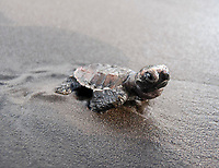 Hatchling hawksbill turtle, Eretmochelys imbricata