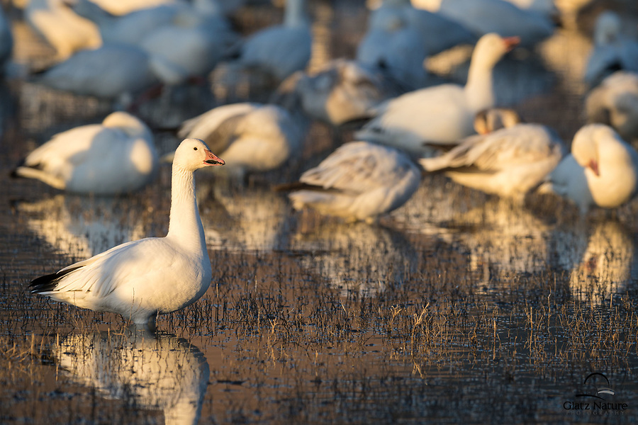 While the other Snow Geese (Chen caerulescens) preen and socialize on the pond, this individual seems to want its personal space. Bosque del Apache National Wildlife Refuge, New Mexico.