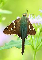 Long-tailed skipper