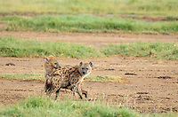 Two Spotted Hyenas, Crocuta crocuta, greet each other in Lake Nakuru National Park, Kenya