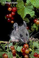 MU50-083z   Deer Mouse - immature young eating berries - Peromyscus maniculatus