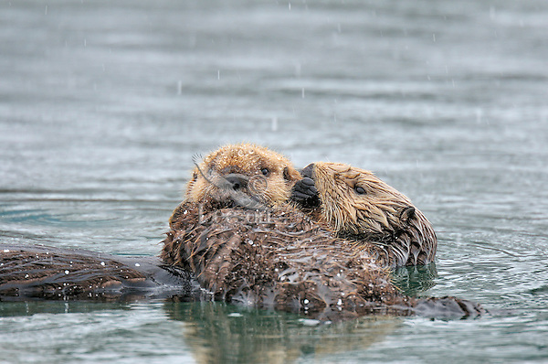 Alaskan or Northern Sea Otter (Enhydra lutris) mom holding pup during light snow.