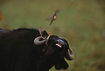 African buffalo and red-billed oxpeckers, Kenya, Africa