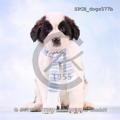 Xavier, ANIMALS, dogs, photos(SPCHdogs577b,#A#) Hunde, perros
