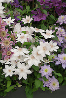 Clematis 'Hyde Hall' (white), Clematis 'Empress' (pink), Clematis 'Crystal Fountain', Clematis 'Royal Velvet'