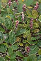 Netz-Weide, Netzweide, Weide, Salix reticulata, männliche Pflanze, Net Leaved Willow