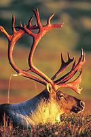 Majestic bull caribou with large antlers pauses on the autumn tundra in Denali National Park, Alaska.