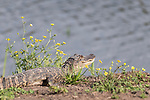 Damon, Texas; a juvenile, American alligator resting on the bank of the slough amongst yellow wildflowers, in late afternoon sunlight