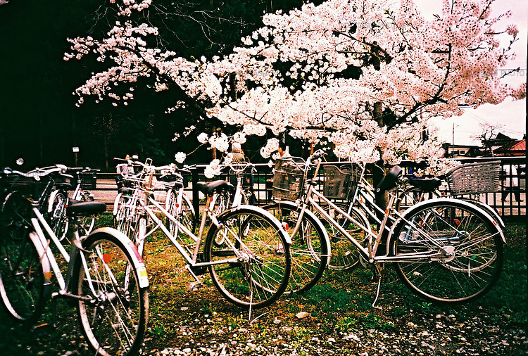Bicycle are parked under the cherry blossom.<br /> <br /> Les vélos sont garés sous la fleur de cerisier.