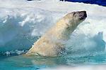 A polar bear shakes himself dry before exiting the water at Wager Bay, Nunavut, Canada.