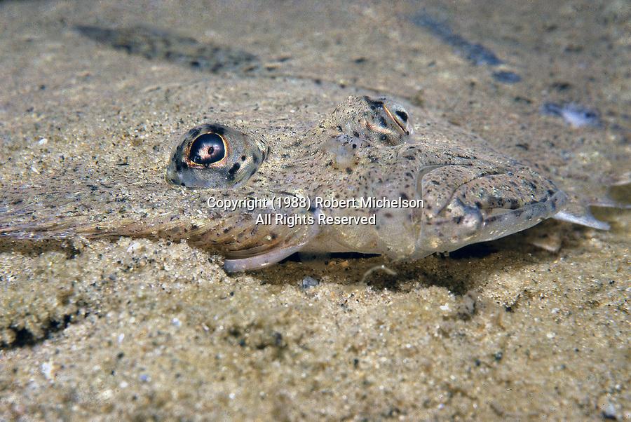 Windowpane flounder, close-up