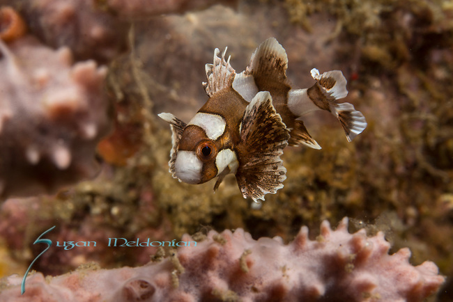 Many spotted sweetlips-juvenile,Plectorhinchus chaetodonides