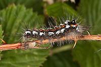 Schwan, Raupe, Euproctis similis, Porthesia similis, Sphrageidus similis, yellow-tail, gold-tail, Trägspinner, Lymantriidae