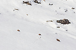 Female or sow Himalayan brown bear (Ursus arctos isabellinus) with two young cubs climbing up snowy slope. Western Ladakh, northern India.