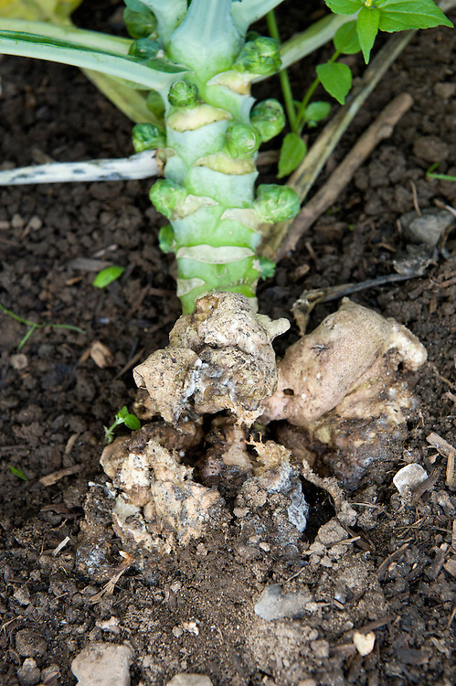 Clubroot in a Brussels sprout plant.