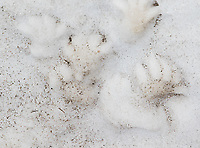 Yellow-bellied marmot footprints left in snow.