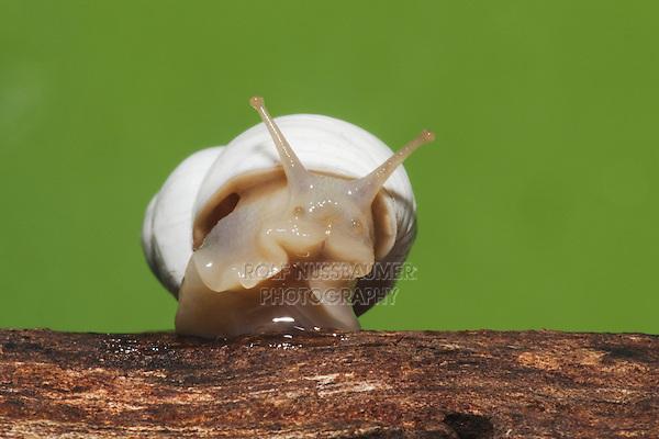 Land Snail (Gastropoda), adult, Sinton, Corpus Christi, Coastal Bend, Texas, USA
