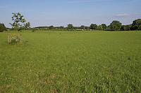 Grünland, Wiese, Grünlandfläche, Weide, Weideland, Beweidung. Neuanpflanzung einer Eiche. Hamfelder Hof, Schleswig-Holstein