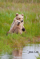 A photo of two Alaska Grizzly cubs sitting on the edge of a stream, with on leaning back on the other. Grizzly Bear or brown bear alaska Alaska Brown bears also known as Costal Grizzlies or grizzly bears Grizzly Bear Photos, Alaska Brown Bear with cubs. Purchase grizzly bear fine art limited edition prints here Grizzly Bear Photo Bear Photos,