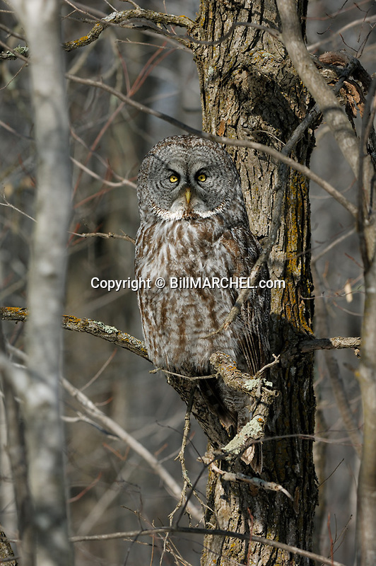 00830-049.19 Great Grey Owl is well-camouflaged as it is perched near trunk of bur oak tree.  Cryptic, hide, raptor, predator.  V4F1