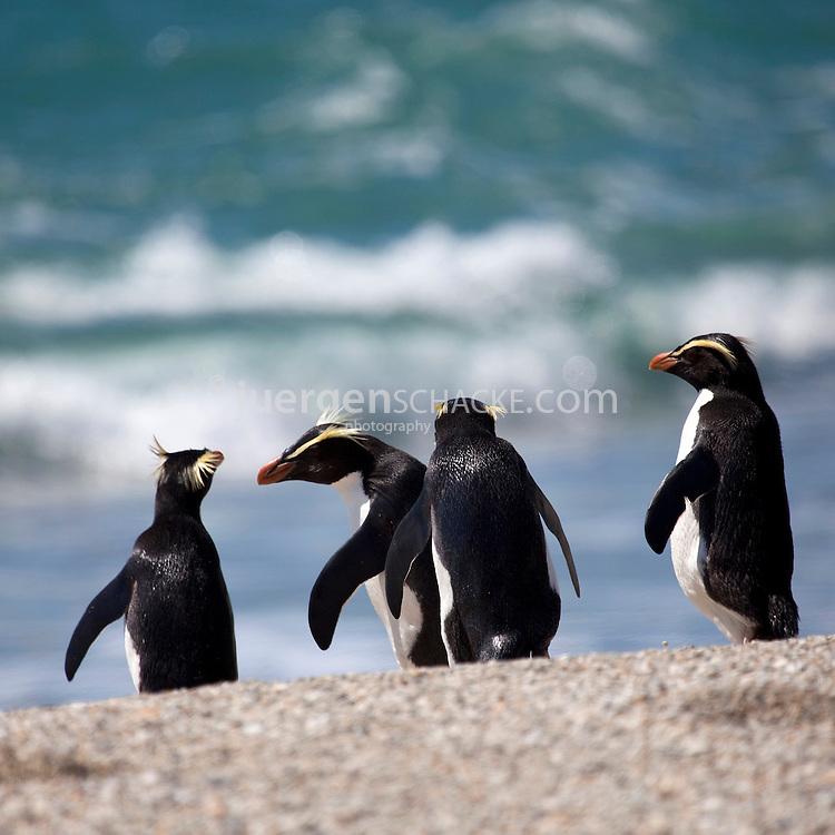 fiordland crested penguins image block square
