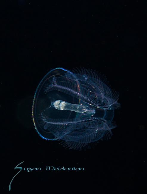 Acorn Worm, Saccoglossus kowalevskii, Hemichordata, Enteropnuesta, Larval, plankton, Gulfstream Current