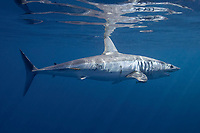 shortfin mako shark, Isurus oxyrinchus, female with mating scars and small patch of copepod parasites on flank, King Bank, New Zealand, Pacific Ocean