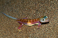 Web-footed Gecko, Palmatogecko rangei, Sossusvlei, Namibia, Africa