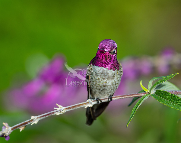 Male Anna's Hummingbird (Calypte anna) perched on garden flower.  California.  Fall.  Showing full iridescents of gorget feathers.