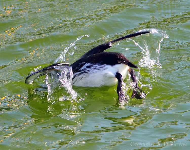 Common murre diving, note outstretched wings.