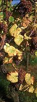 Europe/France/Alsace/67/Bas-Rhin/Heiligenstein : Route des vins - Détail raisin