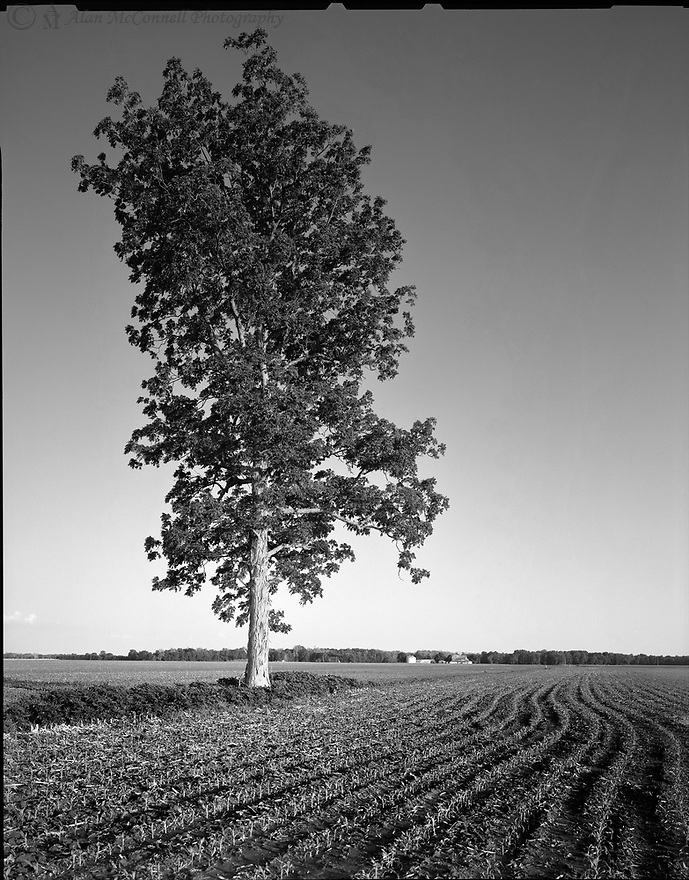 """""""Solitary Tree #2""""<br /> The Landmark<br /> Tippecanoe County, Indiana<br />  2010<br /> <br /> A shagbark hickory sits alone in the middle of a square mile field.  This fine example of a solitary tree can be found of the farm of Carol and Fern Walters.  When the owners were asked why this tree survived, the reply was simple-it serves as a landmark.   The corn rows can be seen arcing around this sentinel of the landscape.<br /> <br /> 4 x 5 Large Format Film"""