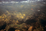 Atlantic Salmon male swimming up-river during fall spawning run