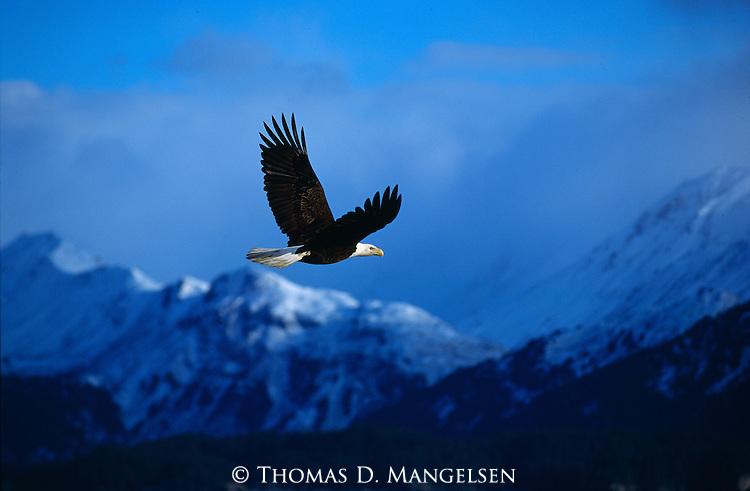 A bald eagle in flight in Southeast Alaska.