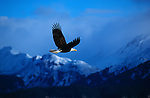 A bald eagle in flight in Southeast Alaska.