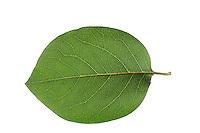 Echte Quitte, Cydonia oblonga, Quince, Cognassier. Blatt, Blätter, leaf, leaves
