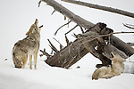 A pair of coyotes responds to the calls of their kin in the open spaces of the Lamar Valley.