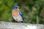 Male eastern bluebird portrait