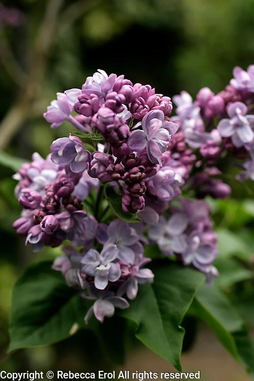 Syringa vulgaris 'Katherine Havemeyer', a double variety of common lilac