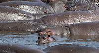 A group of Hippopotamuses, Hippopotamus amphibius, rests in a pond in Serengeti National Park, Tanzania
