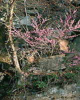 Sunrise light on a Redbud tree on a cliff face; Panther State Forest, WV