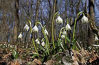 Märzenbecher, Märzbecher, Märzen-Becher, März-Becher, Frühlings-Knotenblume, Märzglöckchen, Knotenblume, Frühjahrsblüher, Leucojum vernum, Spring Snowflake