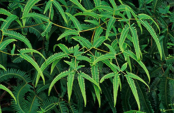 Fern, Pteridophyta, plant, Alakai Swamp, Kauai, Hawaii, USA, August 1997